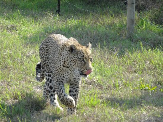 Idube Game Reserve Lodge: Leopard