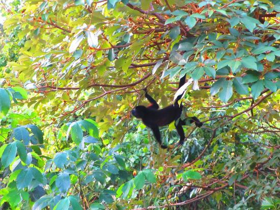 Villas de Palermo Hotel & Resort: Resident Howler Monkey
