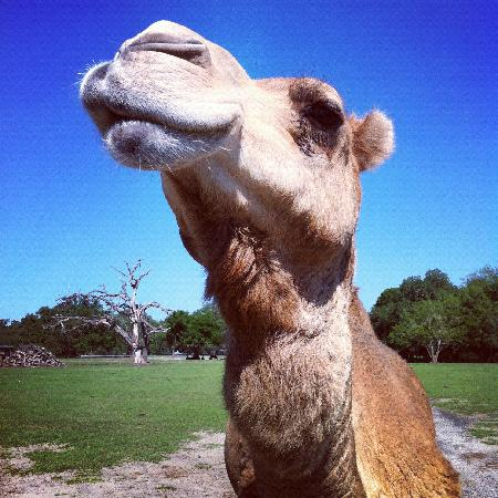"Giraffe Ranch: ""Forest Hump"" the friendly dromedary camel"