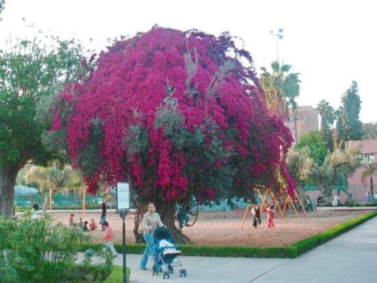 Jardin el Harti: Bougainvillier couvrant un olivier