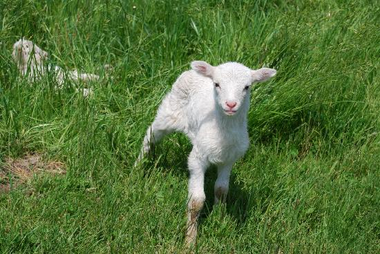 Frogpond Farm Organic Winery: One of the baby sheep