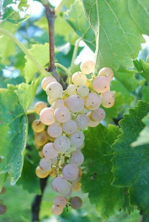 Frogpond Farm Organic Winery: Vidal Grapes