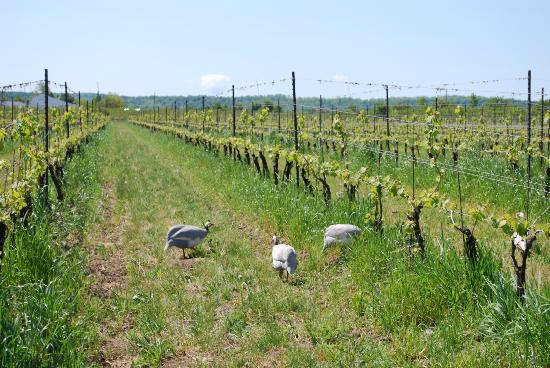 Frogpond Farm Organic Winery: Guinea Fowl busy eating bugs in the vineyard
