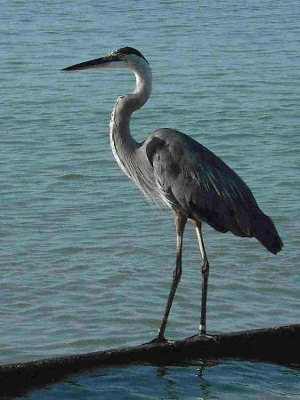 Shoreline Island Resort: Bird at the Beach