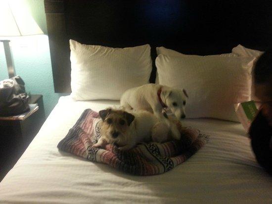La Quinta Inn & Suites Panama City Beach Pier Park : Dog's 1st Hotel Stay