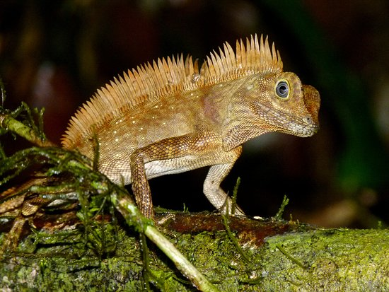 Danum Valley Conservation Area: Forest Dragon 