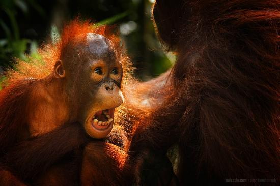 The Kebun: Orangutans in Semenggoh