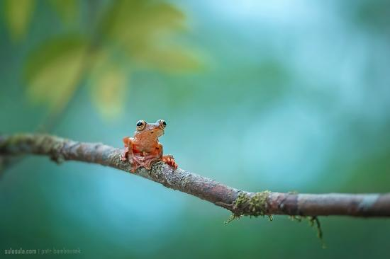 Flying tree frog from The Kebun