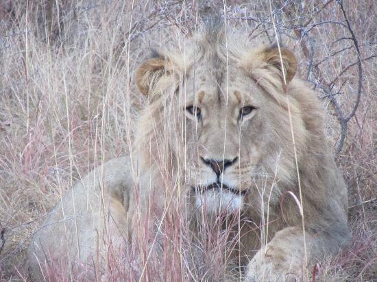 Elephant Rock Private Safari Lodge: So close to the LIONS
