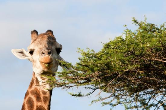 Ubizane Wildlife Reserve: Giraffe at Tree Lodge Reception