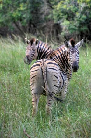 Ubizane Wildlife Reserve : Zebra on Ubizane Game Drive