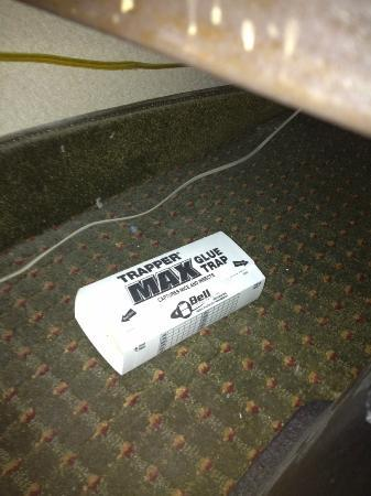 Comfort Inn: Mouse and Pest Trap under bed!