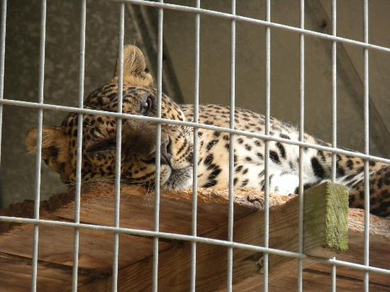 Chestatee Wildlife Preserve & Zoo : Gorgeous lounging leopard