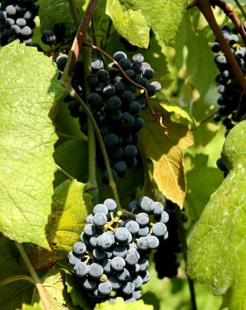Stone Hill Winery: Normandy grapes at Stone Hill