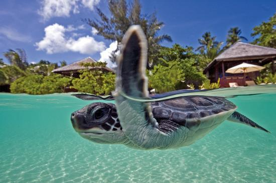 A baby sea turtle swims playfully along shore in front of a Wakatobi Beach Bungalow