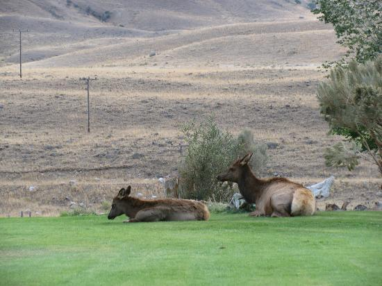 Yellowstone Village Inn: Local elk herd in the front yard