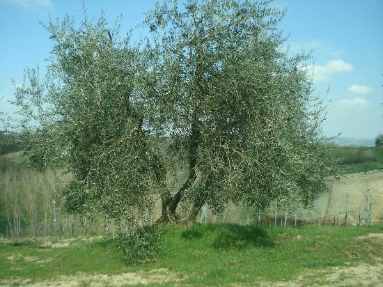Tenuta Torciano: Olive tree