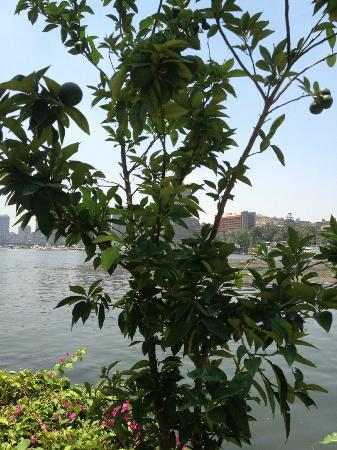 Sofitel Cairo El Gezirah: lime tree next to kebabgy - sure thats where they picked them from...