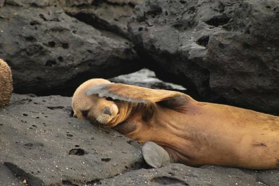 หมู่เกาะกาลาปาโกส, เอกวาดอร์: Galapagos Islands Sea Wolf