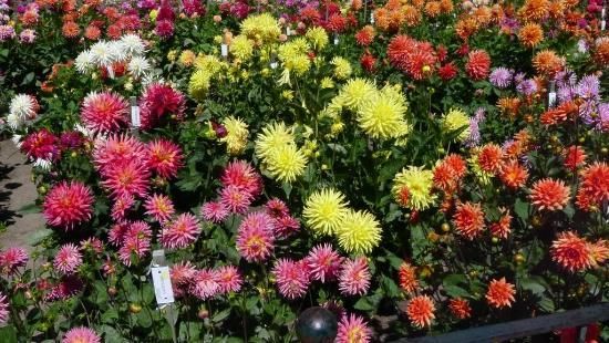 The Lovely Dahlia Garden At Conservatory Of Flowers(8)