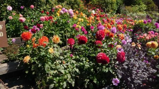 The lovely Dahlia Garden at Conservatory of Flowers a Picture
