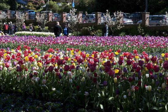 Wellington Botanic Garden: Tulips.