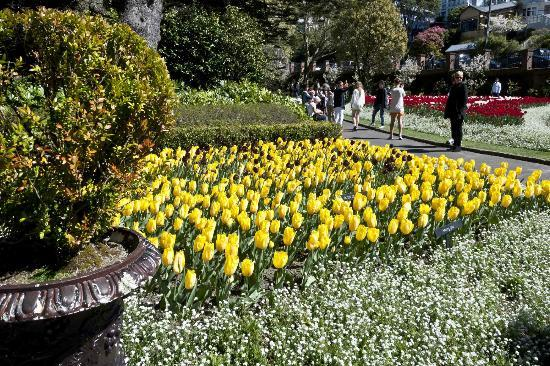 Wellington Botanic Garden: Traditional colour of tulips.