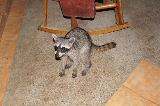 Bahia Pez Vela Resort: Nightly visitor - NOT a pizote, but still cute and not too pesky