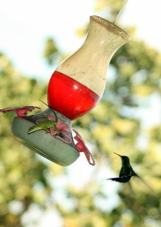 Tranquilseas Eco Lodge and Dive Center : Tree Frog hummingbird feeder