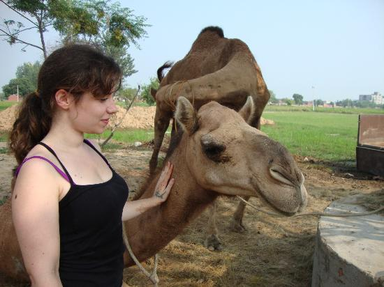 Virasat Haveli: Play with the camels.