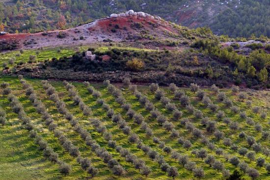 Domaine Terre de Mistral: olive grove