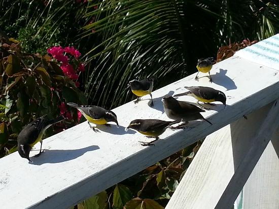 Cocobay Resort: Morning gathering! They love sugar!