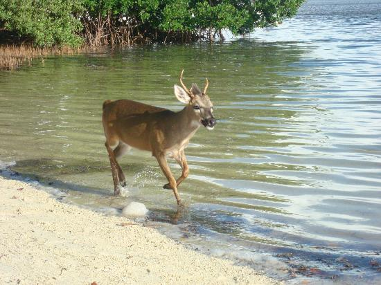 Little Palm Island Resort & Spa, A Noble House Resort: Key deer are friendly!
