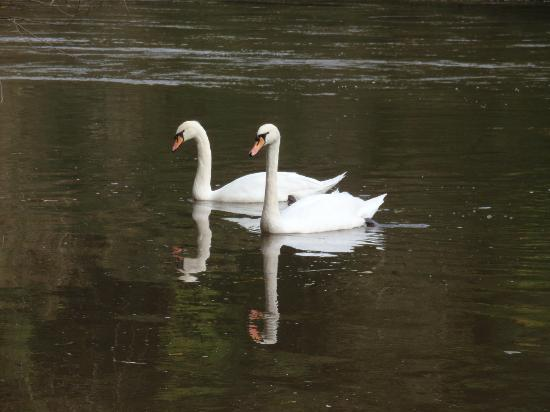 Ye Old Ferrie Inn: Swans at the pub