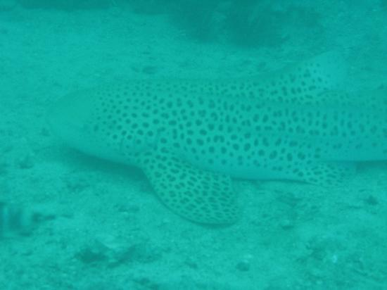 Dive Asia - Day Trips and PADI Courses: Leopard shark