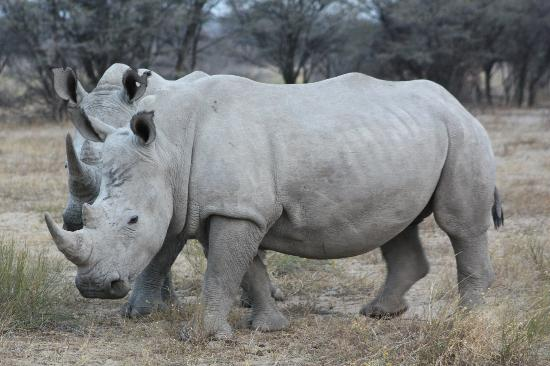 Khama Rhino Sanctuary: The two that crossed our path