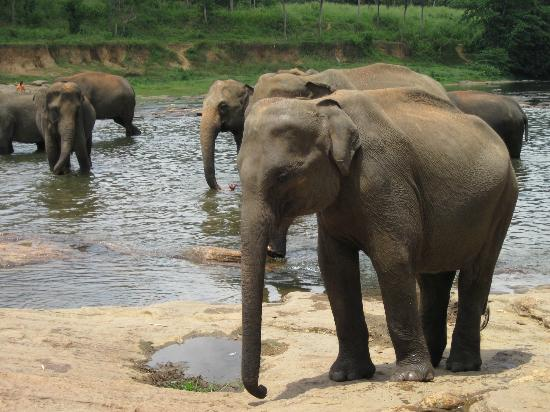 Pinnawala Elephant Orphanage: Elephants in the water