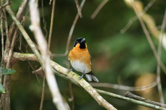 Kingfisher Park Birdwatchers Lodge: One of the locals - Spectacled Monarch