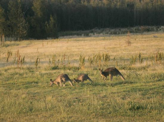 Leisure Inn Pokolbin Hill: Kangaroos coming for a feed and drink