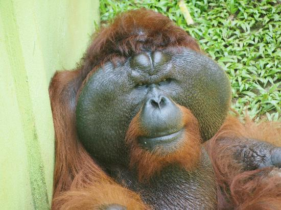 Matang Wildlife Centre: The dominate male Aman