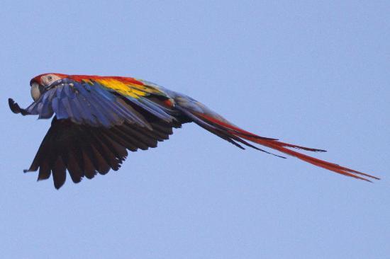 Bosque del Rio Tigre: Scarlet Macaw 