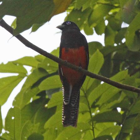 Bosque del Rio Tigre: Baird'sTrogon 