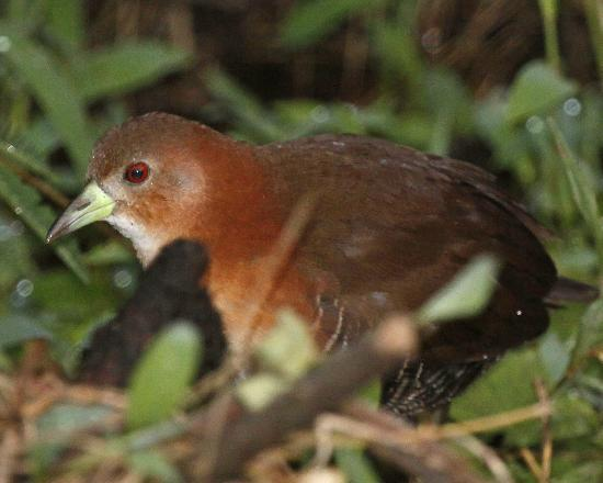 Bosque del Rio Tigre: White-throated Crake