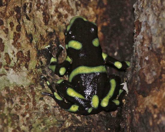 Bosque del Rio Tigre: poison-dart frog