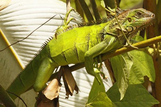 Bosque del Rio Tigre: Iguana