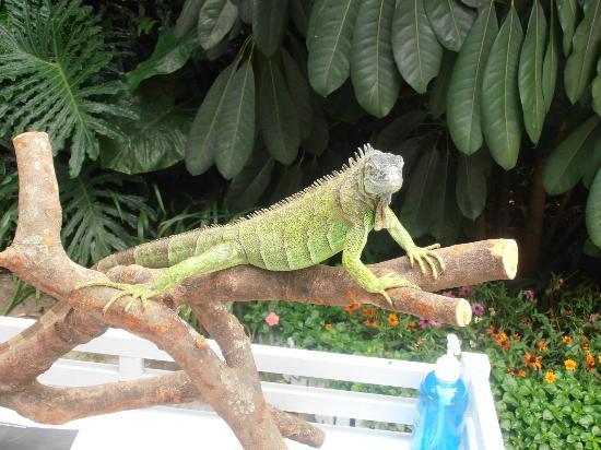 Guangzhou Crocodile Park : iguana?