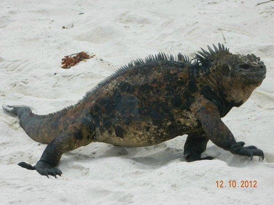Πουέρτο Αγιόρα, Ισημερινός: iguanas, protagonistas