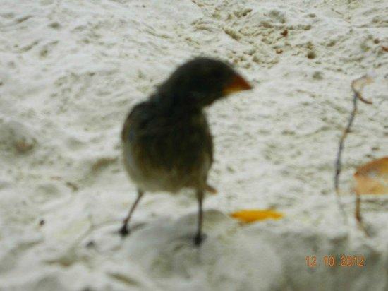 Santa Cruz, Ecuador: curioso pinzon