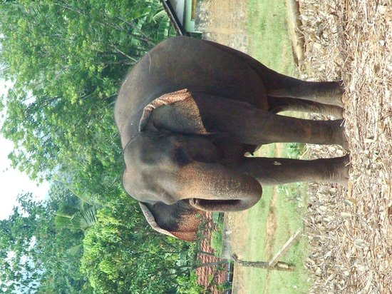 Pinnawala Elephant Orphanage: large mother