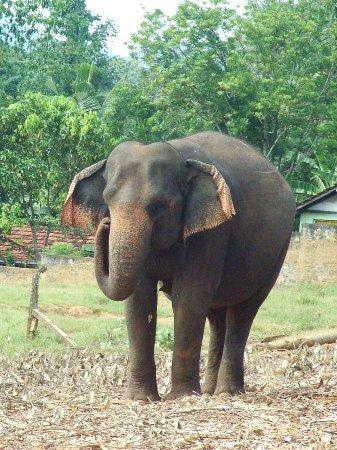 Pinnawala Elephant Orphanage: large mother